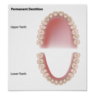 Permanent teeth adult dentition Poster