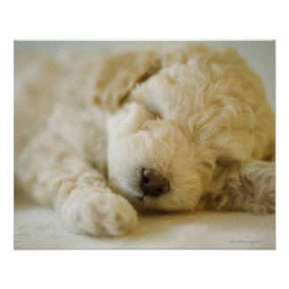 Perrito 2 del caniche el dormir poster
