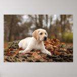 Perrito amarillo de Labrador en otoño Poster