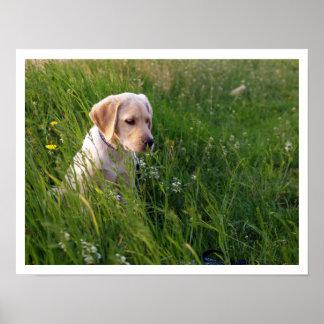 Perrito amarillo del laboratorio en hierba alta póster