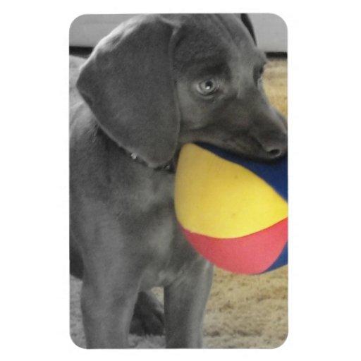 Perrito azul de Weimaraner con la bola Imán Rectangular