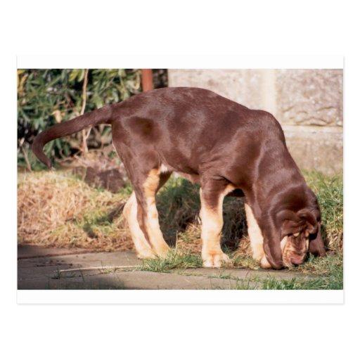 Perrito de Bloodhound_liver_and_tan Tarjetas Postales