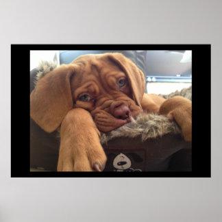 Perrito de Dogue de Bordeaux Póster