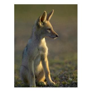 Perrito de espalda negra del chacal (Canis Postales