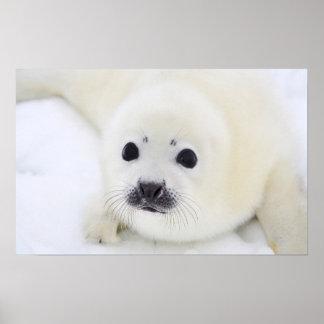 Perrito de foca de Groenlandia del bebé en el hiel Posters