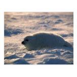 Perrito de foca de Groenlandia en nieve Postales