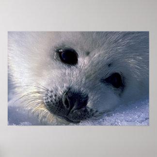 Perrito de foca de Groenlandia Impresiones