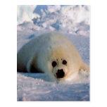 Perrito de foca de Groenlandia Tarjeta Postal