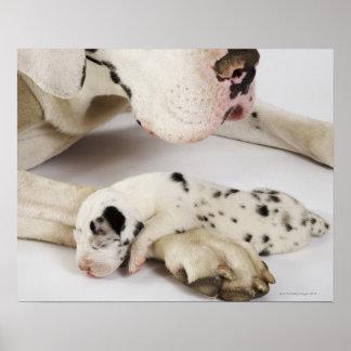 Perrito de great dane del Harlequin que duerme en  Poster