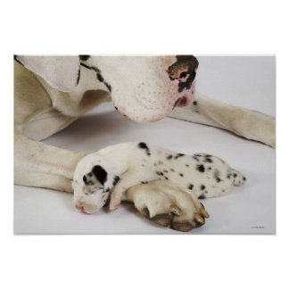 Perrito de great dane del Harlequin que duerme en  Póster