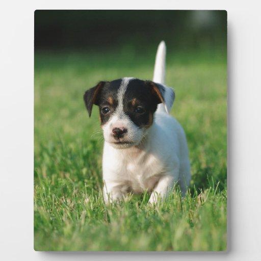 Perrito de Jack Russell Terrier Placa Para Mostrar