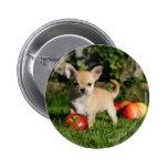 Perrito de la chihuahua con las manzanas pin