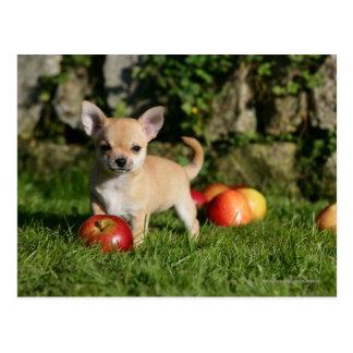 Perrito de la chihuahua con las manzanas tarjeta postal