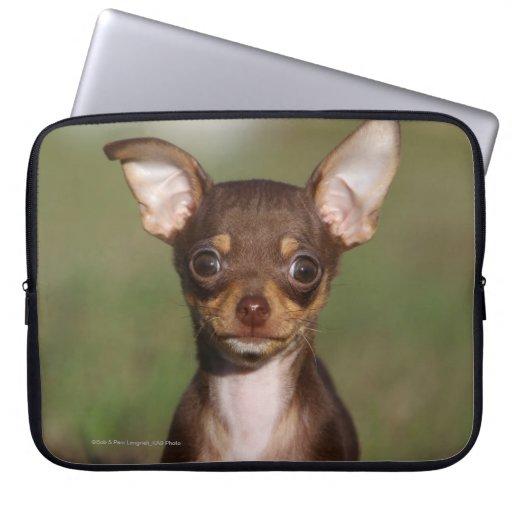 Perrito de la chihuahua que mira la cámara mangas computadora