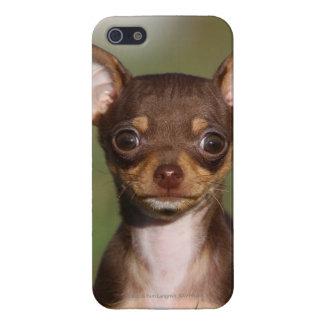 Perrito de la chihuahua que mira la cámara iPhone 5 carcasas