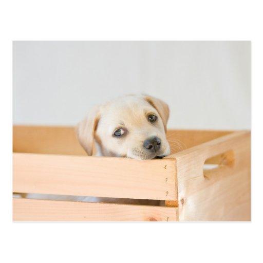Perrito de Labrador Postales
