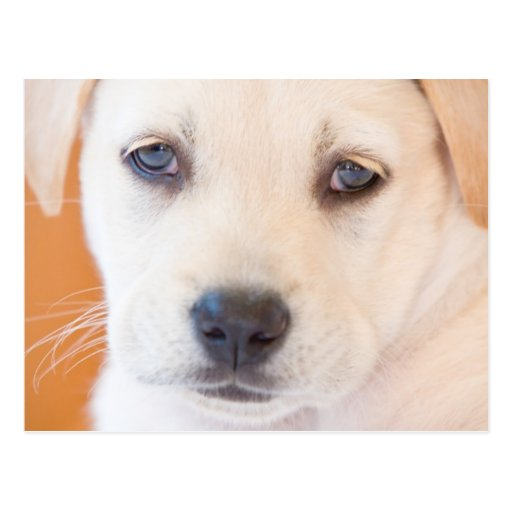 Perrito de Labrador Tarjetas Postales