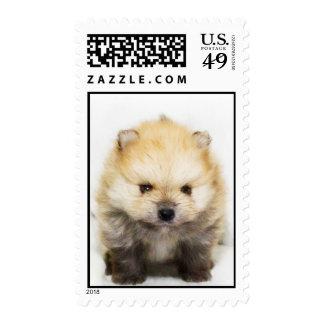 Perrito de Pomeranian