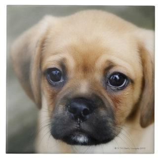 Perrito de Pugalier que mira la cámara Azulejo Cuadrado Grande