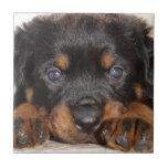 Perrito de Rottweiler con las patas grandes que se Azulejo Cerámica