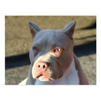 Perrito de Staffordshire Terrier americano Tarjetas Postales