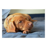 Perrito de Vizsla que descansa sobre su pata Póster