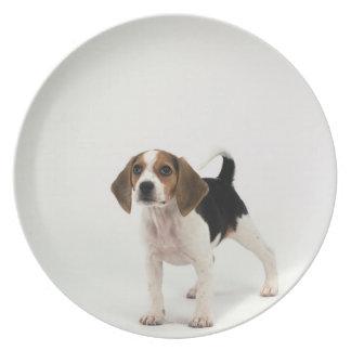 Perrito del beagle platos