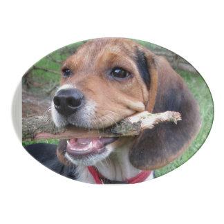 Perrito del beagle que disfruta de la masticación badeja de porcelana