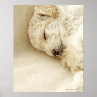 Perrito del caniche el dormir póster
