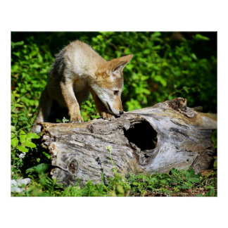 ¿Perrito del coyote - cuál está en ese registro? Póster