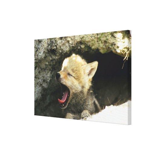 Perrito del coyote que bosteza lona envuelta para galerías