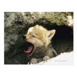 Perrito del coyote que bosteza tarjeta postal