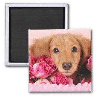 Perrito del Dachshund rodeado por los rosas Imán Cuadrado