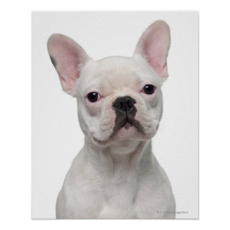 Perrito del dogo francés (5 meses) posters