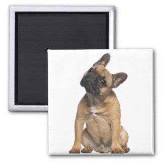 Perrito del dogo francés (7 meses) imán cuadrado