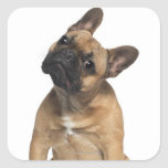 Perrito del dogo francés (7 meses) colcomanias cuadradass