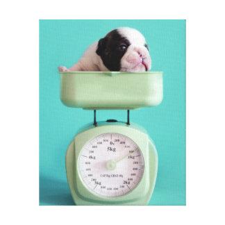 Perrito del dogo francés que comprueba el peso impresiones de lienzo