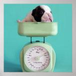 Perrito del dogo francés que comprueba el peso póster