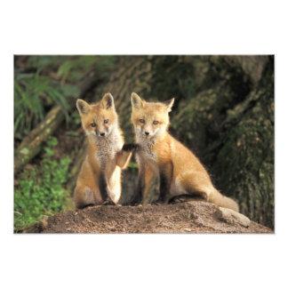 Perrito del Fox rojo delante del vulpes del Vulpes Cojinete