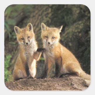Perrito del Fox rojo delante del vulpes del Vulpes Pegatinas Cuadradases