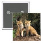 Perrito del Fox rojo delante del vulpes del Vulpes Pin