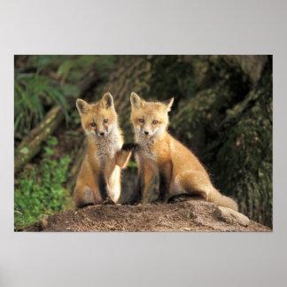 Perrito del Fox rojo delante del vulpes del Vulpes Póster