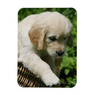 Perrito del golden retriever en cesta iman de vinilo