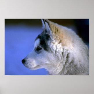 Perrito del husky siberiano impresiones