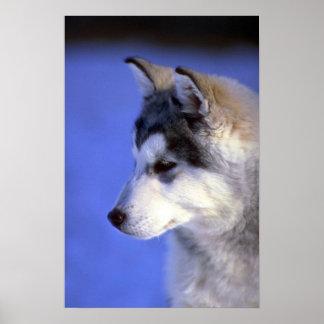 Perrito del husky siberiano póster
