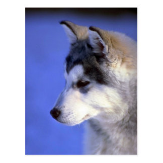Perrito del husky siberiano tarjetas postales