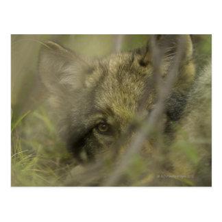Perrito del lobo gris (lupus de Canis) solo, ocult Tarjeta Postal