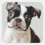 Perrito del perro de Boston Terrier Pegatina Cuadrada