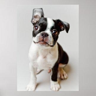 Perrito del perro de Boston Terrier Póster