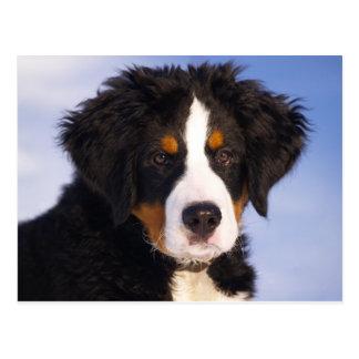 Perrito del perro de montaña de Bernese Tarjetas Postales